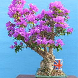 Special Quality & Large Indoor Bonsai