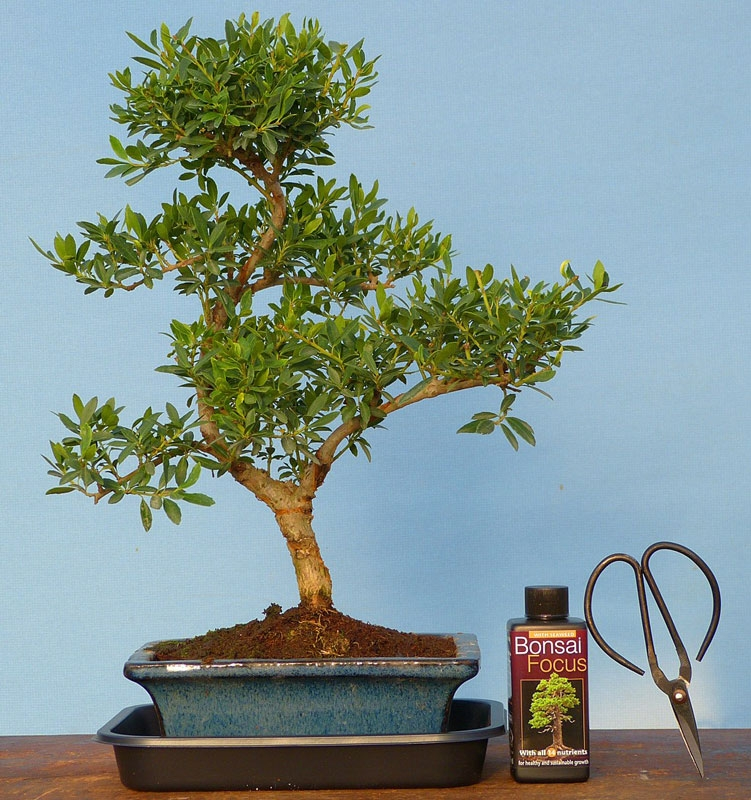 Indoor bonsai tree gift pack large mature chinese holly for Holly tree bonsai