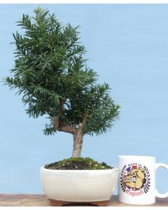 Yew Evergreen Bonsai Tree - Taxus media