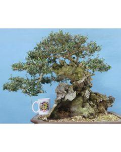 EXCEPTIONAL Yamadori Wild Olive Specimen Quality Bonsai Tree