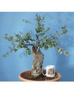 Cork Bark Oak Yamadori Evergreen Bonsai Material