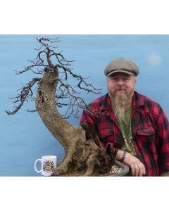 English Hornbeam British Native Bonsai Tree