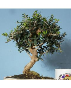 Wild Olive Evergreen Bonsai Tree
