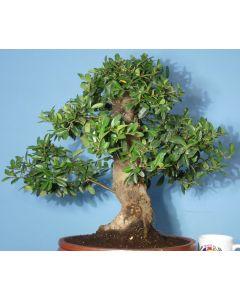 Pyracantha Evergreen Flowering Bonsai Tree