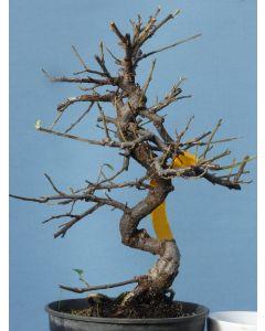 Cotoneaster Horizontalis - Flowering Shohin Size Bonsai Material