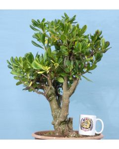 Pittisporum Yamadori Flowering Bonsai Tree Material
