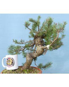Scots Pine Native Evergreen Bonsai Material