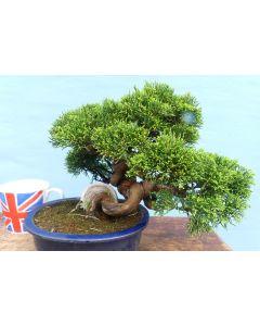 EXCEPTIONAL Chinese Juniper - Itoigawa - Bonsai Tree
