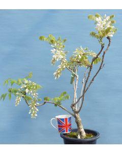 Wisteria Flowering Bonsai Material - Shiro-Kapitan