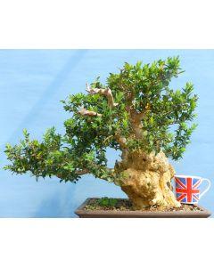 Yamadori Box Native Bonsai Tree