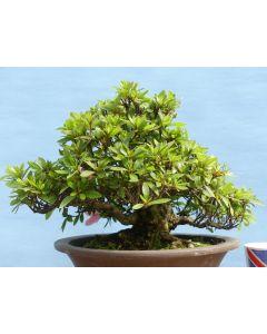 EXCEPTIONAL Satsuki Azalea Shohin Flowering Japanese Bonsai Tree
