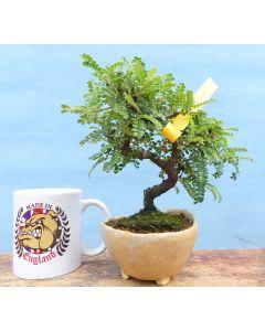 Osteomeles - Hawaiian Hawthorn Flowering Shohin Bonsai Tree