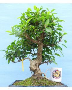 Ficus Retusa Quality Large Indoor Bonsai Tree