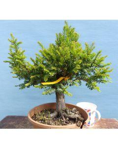English Yew Bonsai Tree Material