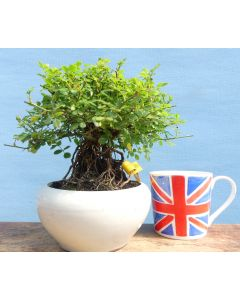 Miniature Rose Shohin Bonsai Tree