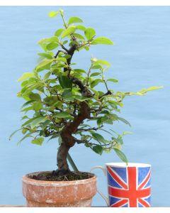 Quince Flowering Shohin Bonsai Tree - TS4331