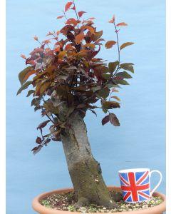 Black Cherry Plum (prunus 'Nigra') Flowering Bonsai Material - RM2678