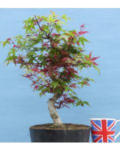 Red Maple Bonsai - Acer palmatum 'deshojo' - TS4341-2