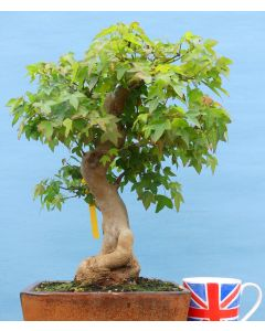 Trident Maple Bonsai Tree - TS4343