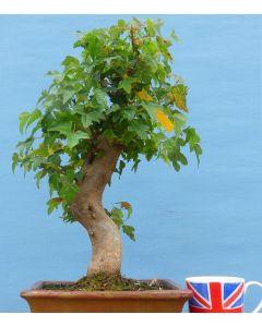 Trident Maple Bonsai Tree - TS4345-3