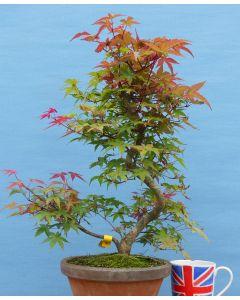 Red Maple Bonsai - Acer palmatum 'deshojo' - TS4347