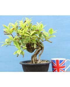 Variegated Weigela Flowering Bonsai Tree - TS4349