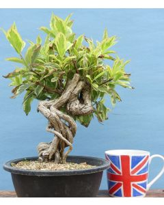 Variegated Weigela Flowering Bonsai Tree - TS4350
