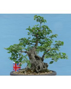 English Elm Native Yamadori Bonsai Tree