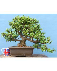 Portulacaria Afra - Elephant Bush Indoor Bonsai Tree - SB299