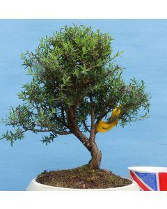 Leptospermum - Tea Tree Shohin Bonsai