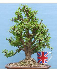 EXCEPTIONAL Portulacaria - Elephant Bush Indoor Bonsai Tree - SB300
