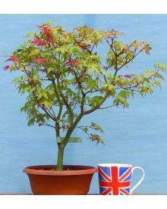 Red Maple Bonsai - Acer palmatum 'Beni-maiko'