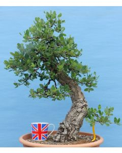 Cork Bark Oak Yamadori Evergreen Bonsai Material - RM2075