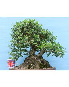Phillyrea Evergreen Yamadori Bonsai Material - TS4364