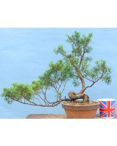 Chinese Juniper Evergreen Bonsai Tree