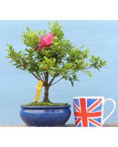 Japanese Satsuki Azalea Flowering Shohin Bonsai - TS4370-5