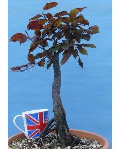 Black Cherry Plum (prunus 'Nigra') Flowering Bonsai Material - RM2718