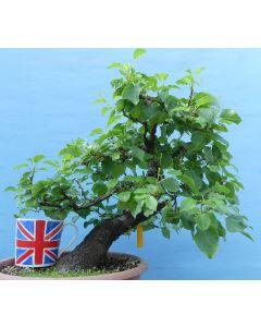 Mahaleb Cherry Flowering Bonsai Tree - TS4376