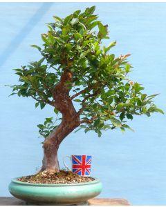 EXCEPTIONAL Stewartia Flowering Bonsai Tree
