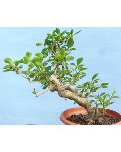 Privet Bonsai Shohin Tree - Raw Material for Bonsai - RM2733