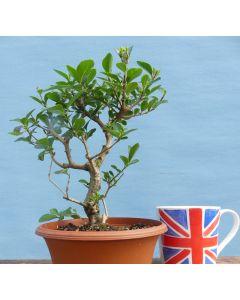 Privet Bonsai Shohin Tree - Raw Material for Bonsai - RM2740