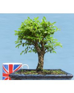 Cork Bark Elm Shohin Bonsai Tree