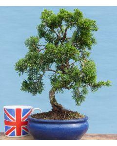 Chinese Juniper Evergreen Bonsai Tree - TS4378-4