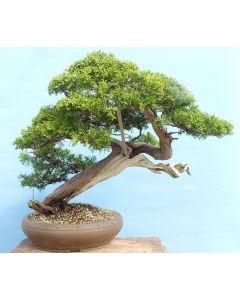 EXCEPTIONAL Yamadori Sabina Juniper Bonsai Tree - TS4384
