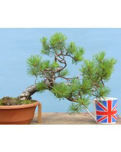 Scots Pine Native Evergreen Bonsai Material - RM2699