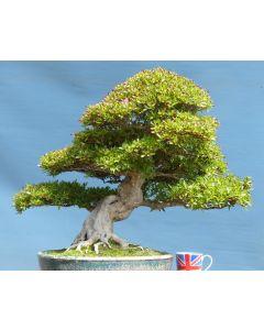EXCEPTIONAL Old Satsuki Azalea Flowering Bonsai Tree