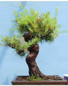 European Larch Bonsai Tree - TS4365