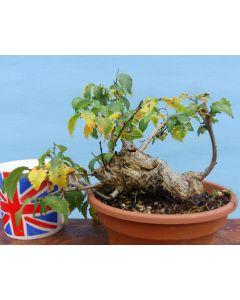 English Elm Bonsai Starter Tree - Clearance.