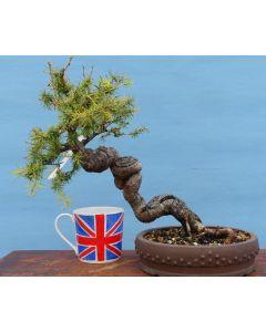 European Larch Bonsai Tree - TS4407