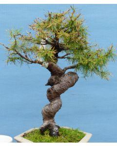 European Larch Bonsai Tree - TS4408